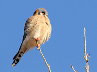 Kestrel up close a.jpg