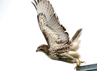Red_Tail_Hawk