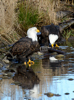 Nooksack_eagles-40
