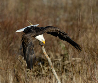 Nooksack_eagles-41