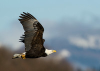 Nooksack_eagles-45