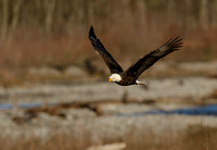 Nooksack_eagles-48