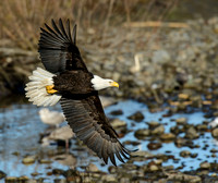 Nooksack_eagles-52