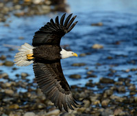 Nooksack_eagles-53