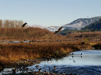 Nooksack_eagles-8-2