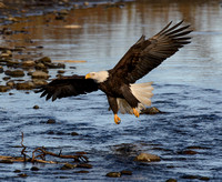 Nooksack_eagles-32
