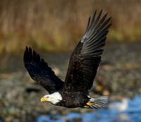 Nooksack_eagles-19