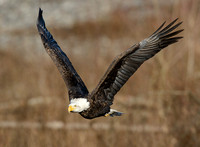 Nooksack_eagles-7