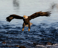 Nooksack_eagles-29