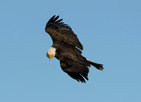 Nooksack_eagles-26