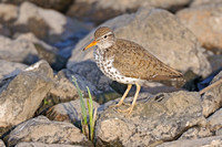 spotted sandpiper on rock