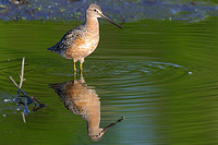 Long Billed Dowitcher upright