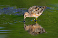 a Long Billed Dowitcher reflection