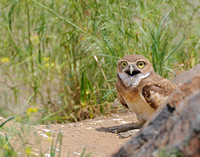 Baby Chick Burrowing Owl