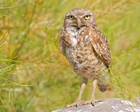 Burrowing owl wide eyes