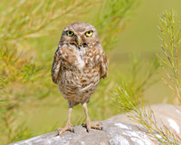 Burrowing Owl Standing up close up
