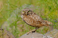 Female Burrowing owl eyes wide open