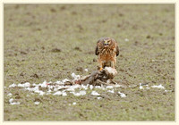 Northern Harrier with snow goose Zenfolio