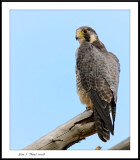 Falcons, kestrils, merlins and sharp shined hawks