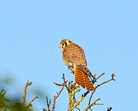 American Kestrel in morning sun