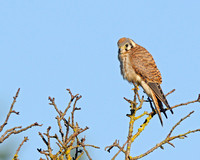 Male Kestrel looking at me