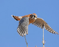 Kestrel flying off.jpg