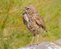 Burrowing Owl profile up close