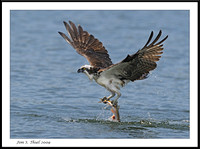Osprey fishing or flying with fish