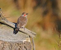 adult flicker