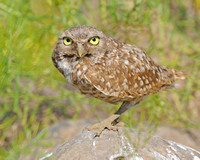 Female Burrowing owl full frame close