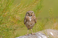 Burrowing Owl Standing up