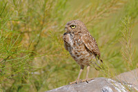 Burrowing Owl profile