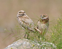 Burrowing owls mom and baby